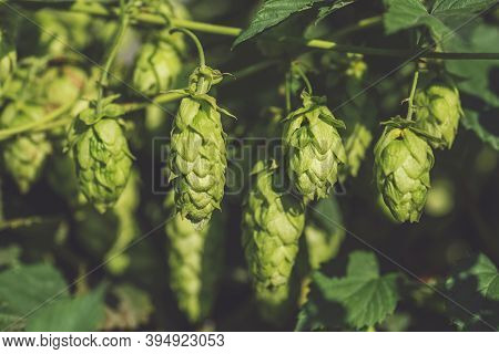 Green Ripe Hop Cones. The Concept Of Making Natural Fresh Beer, Brewing. Hop Cones.