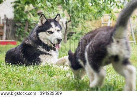 An Adorable Husky, And A Cute Puppy Husky, Having A Great Time In The Yard. Two Husky Dogs Are Playi