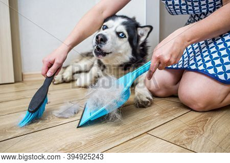 A Woman Removes Dog Hair After Molting A Dog With A Dustpan And Broom At Home. Cleaning Dog Hair At