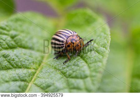 Colorado Potato Beetle Eats Potato Leaves. Colorado Potato Beetle. Potato Bug On Green Sheet.