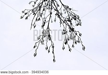 Abstract White Background With Dry Alder Branches And Catkins. Minimalism, Minimalist Design And Dec