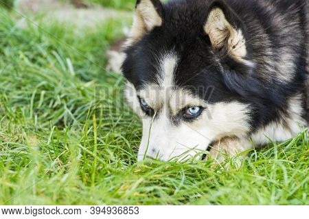 Black And White Siberian Husky On Meadow. Dog Breed Siberian Husky On The Green Grass.