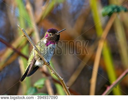 Anna's Hummingbird Perched Among Twigs And Leaves In The Fall