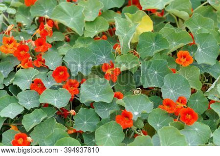 Red Flowers Of Garden Nasturtium, Tropaeolum Majus
