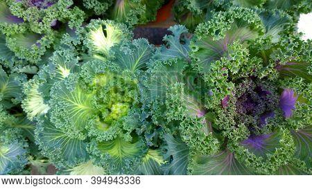 Ornamental Cabbage. Flowering Kale. Brassica Oleracea Species. Cole. Classification: Plantae. Collar