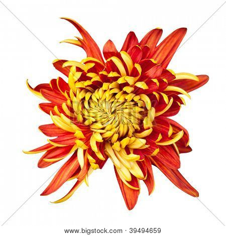 Beautiful golden autumn irregular incurve chrysanthemum,meaning big chrysanthemum, isolated on white background