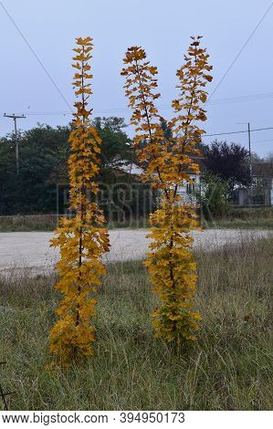 Autumn, Yellow Leaves Of Two Young Trees In Semi-dry Tall Grass By The Roadside