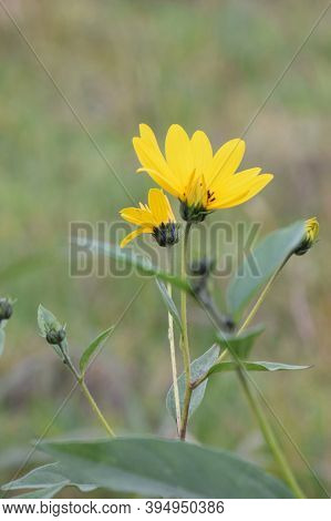 The Jerusalem Artichoke. Yellow Flowers And Buds With Leaves