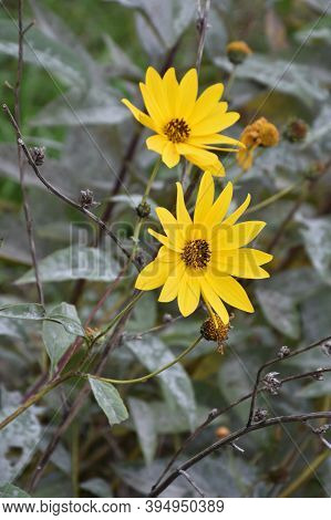 Two Beautiful Yellow Jerusalem Artichoke Flowers With A Blurred Background Of Leaves And Withered Fl