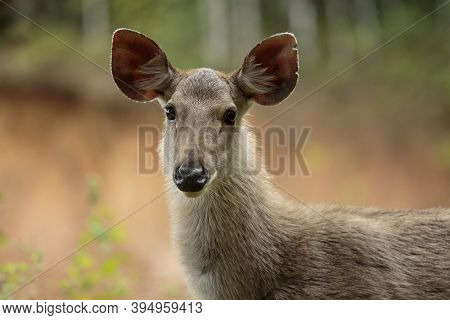 Headshot Of Sambar Deer In Khao Yai National Park Thailand