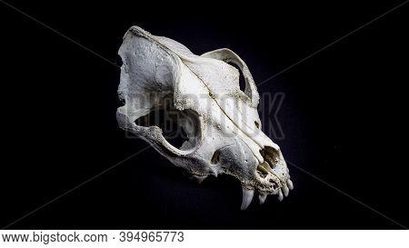 Skull Of A Dog, Bottom View, Isolated On Black Background. Animal Skull.