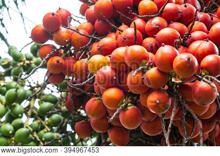 Areca Catechu (areca Nut Palm, Betel Nuts) All Bunch Into Large Clustered, Hanging Down. Natural Sun