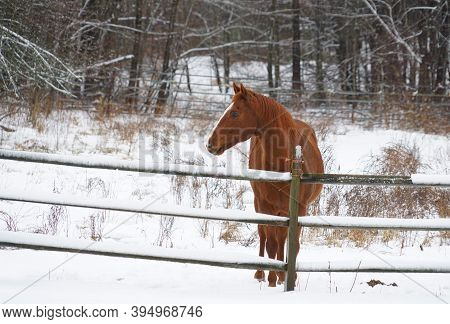 The Horse In Winter Farm After Snow