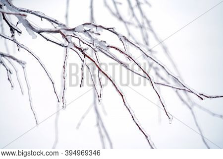 Tree Branches In The Frozen Rain With Ice