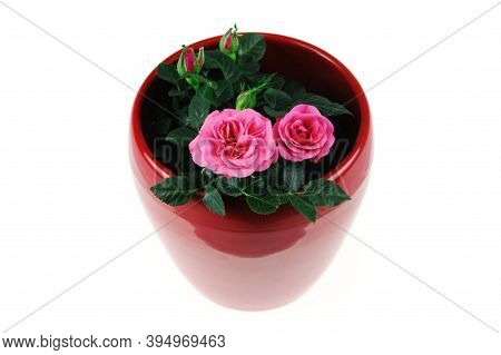 Small Roses In The Red Pot Isolated On White Background