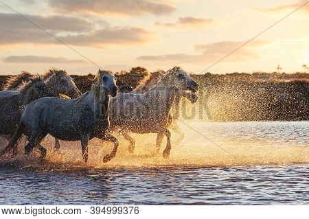 Wild White Horses Of Camargue Running On Water At Sunset. Southern France, Aigues Mortes