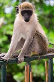 A monkey in Santo Antao Cape Verde stares at the floor poster