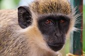 A monkey and his big eyes stares into the camera lens as he prepares for a photograph poster