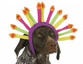 happy birthday dog - german short haired pointer wearing birthday candle headband on white background poster