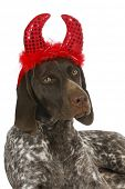 bad dog - german short haired pointer wearing devil ears with reflection on white background poster