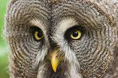 Great grey owl bird of prey looking and being alert poster