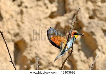 european bee-eater (Merops Apiaster) outdoor poster