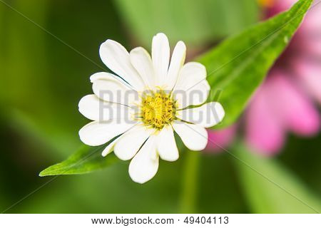 White Straw Flower