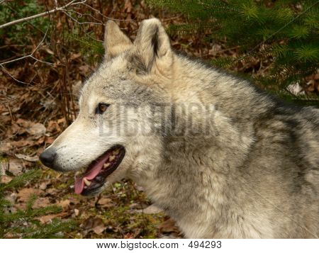 profile of female wolf face. golden, british columbia, canada. poster