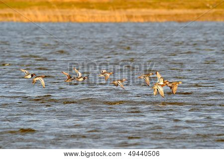 wild ducks flying over the river (anas querquedula)
