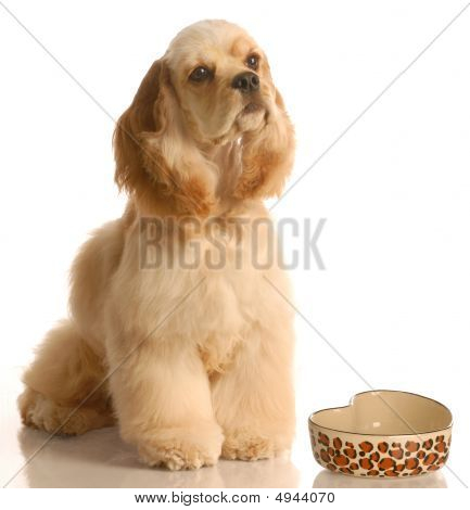poster of american cocker spaniel waiting to be feed