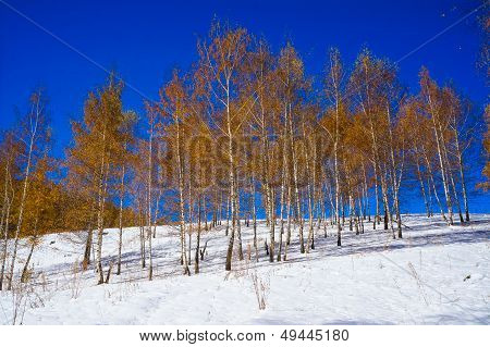 Birchwood with yellow leaves in the winter, on white snow