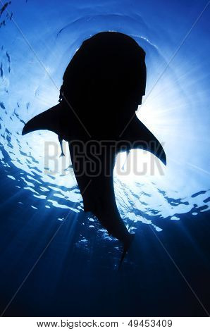 Massive Shark Silhouette