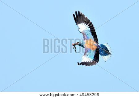 european roller (coracias garrulus) in flight poster
