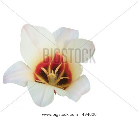 Isolated White Tulip