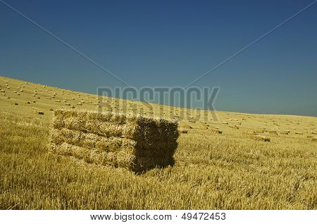 The wheat harvest