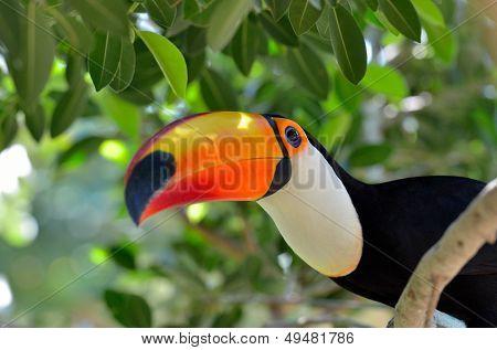 toucan outdoor - Ramphastos sulphuratus