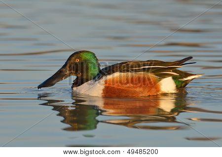 wild duck flying (anas clypeata)