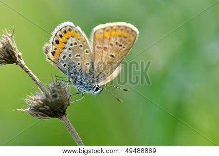 butterfly in natural habitat (plebejus argus)