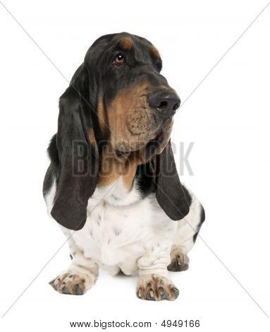 Basset Hound (10 Months Old)