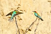 european bee-eaters (Merops Apiaster) outdoor poster