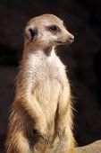 Closeup of a Meerkat standing and watching his surroundings for predators. poster