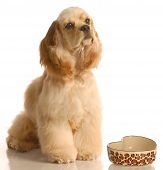 american cocker spaniel waiting to be feed poster