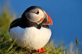 puffin standing on grassy cliff (fratercula arctica) poster