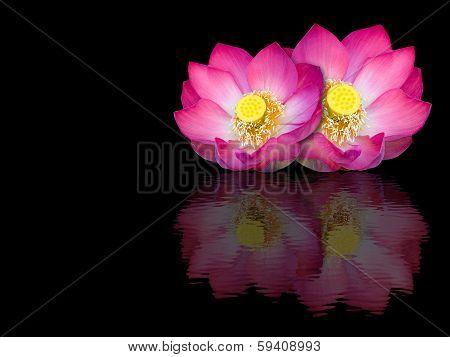Indian Lotus Mirror Reflection On Black Background