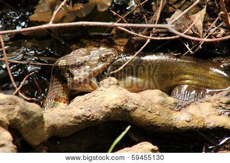 Northern Water Snake Eating Catfish