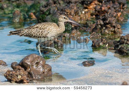 A Whimbrel (Numenius Phaeopus) wading through shallow water in the tide pools poster