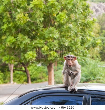 Insolent bonnet macaque on a parked car in Gingee India. poster