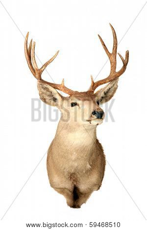 A genuine Stuffed AKA Taxidermy Dear Head with beautiful antlers isolated on white with room for your text. Deer are hunted for Meat and Trophies and are also loved by all including Santa Claus.