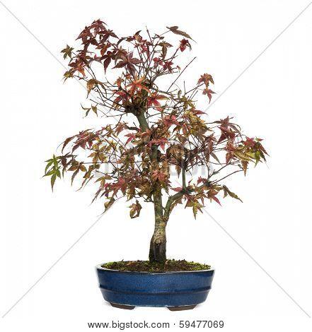 Elm bonsai tree, Ulmus, isolated on white