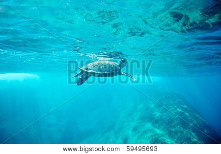 Green Sea Turtle (Chelonia mydas)  pops up to take a sip of air